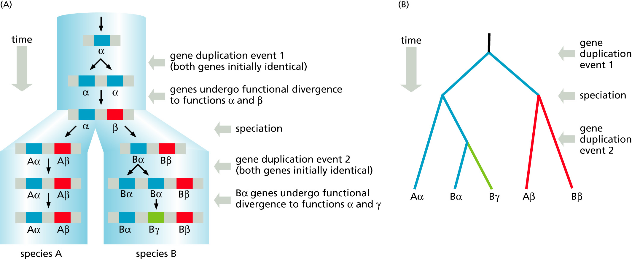Fig 7 10 source the evolutionary history of a gene that has